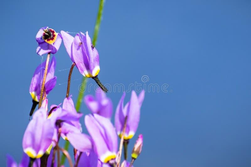 Stäng sig upp av den alpina skjuta stjärnan (primulatetrandra) som blommar på kusterna av toppmötesjön i Lassen den vulkaniska na arkivfoto