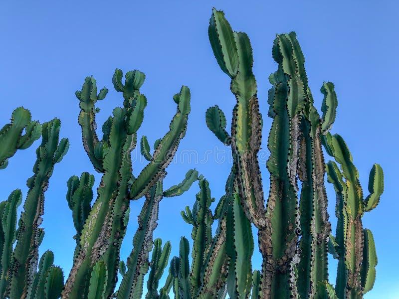 Stäng sig upp av den enorma kaktuns på en blå himmel arkivfoto