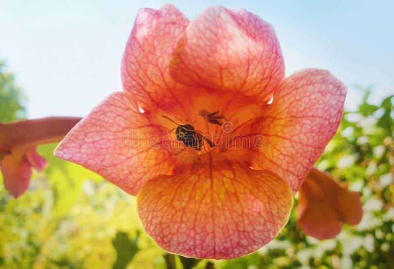 Stäng sig upp av den gemensamma getingen inom en orange trumpetblomma, Tecoma Alata, av vinrankafamiljen royaltyfria foton