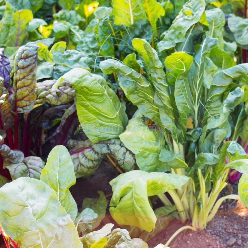 Stäng sig upp av den gröna och röda schweiziska charden som växer i en grönsakträdgård royaltyfria foton