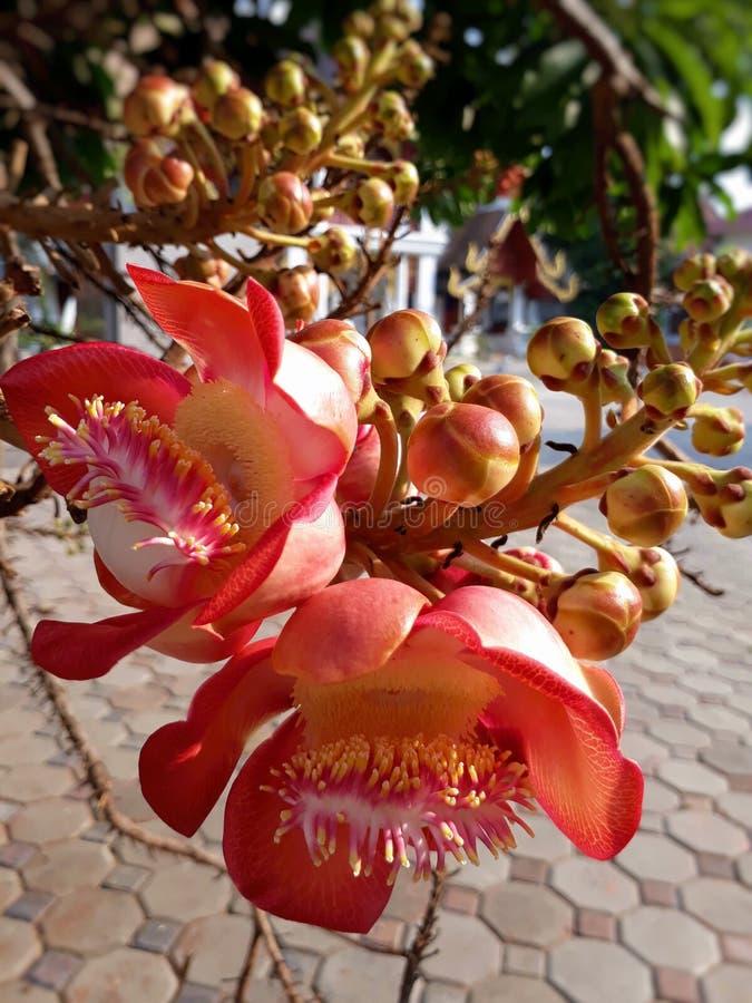 Stäng sig upp av den härliga Couroupita guianensisblomman Cannonballträd arkivfoton