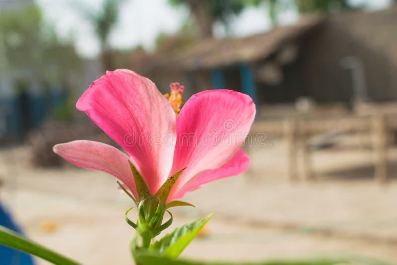 Stäng sig upp av den härliga mjölkaktiga rosa hibiskusblomman i en trädgård royaltyfri foto
