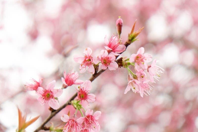 Stäng sig upp av den härliga rosa körsbärsröda blomningen i vinter, thailändska sakura på Chaing Mai royaltyfri bild