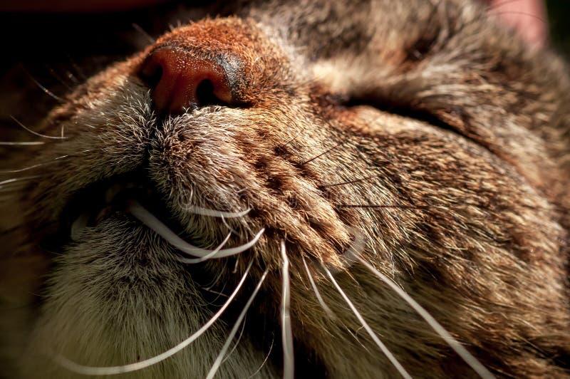 Stäng sig upp av den inhemska kattens mun med morrhår, medan slås royaltyfria foton