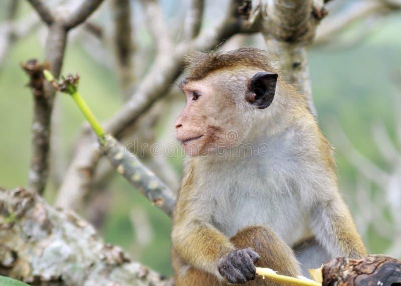 Stäng sig upp av den lösa sinicaen för macacaen för toquemacaqueapan som sitter i ett kalt träd fotografering för bildbyråer