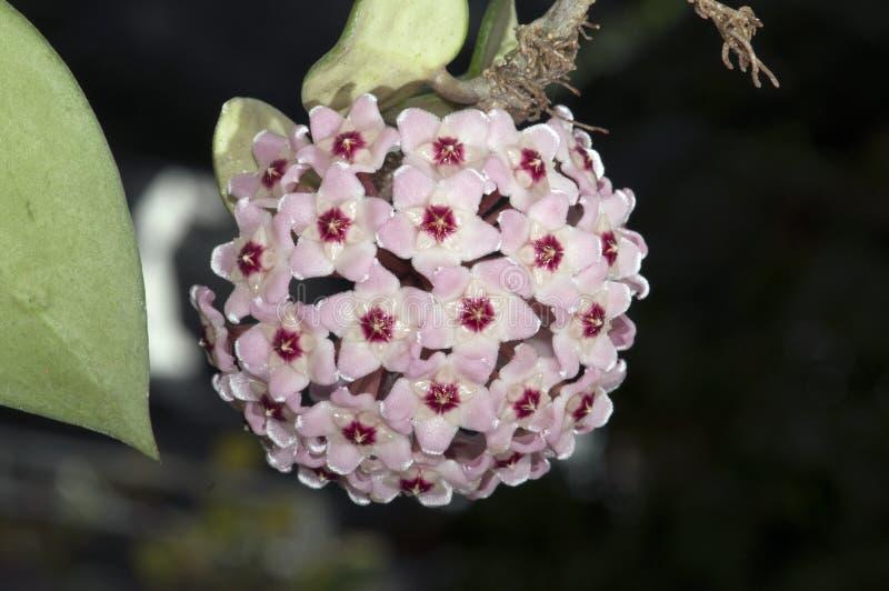Stäng sig upp av den lilla blomningen rosa hoya som formas som boll royaltyfri foto