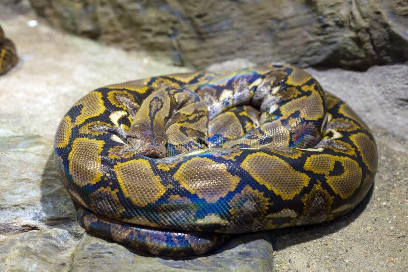 Stäng sig upp av den ljusa stora ormen fotografering för bildbyråer
