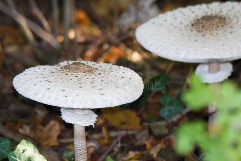 Stäng sig upp av den Macrolepiota för slags solskyddchampinjoner proceraen i underwooden av en holländsk skog arkivfoton
