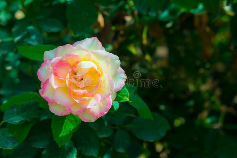 Stäng sig upp av den mjölkaktiga rosa och vita rosa blomman royaltyfria bilder