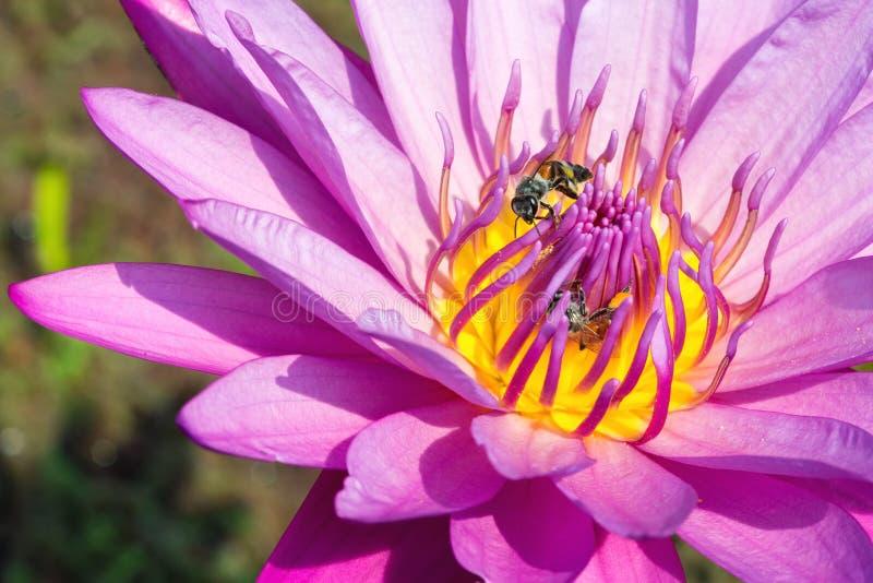 Stäng sig upp av den purpurfärgade Lotus blomman med honungbiet royaltyfri foto