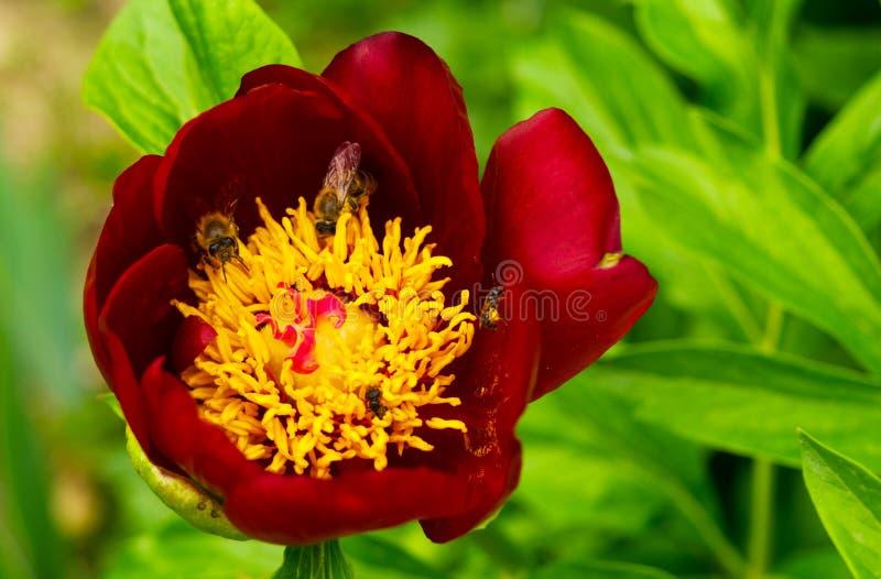 Stäng sig upp av den röda magentafärgade pionblomman med gula stamens och arbetande bin royaltyfri bild