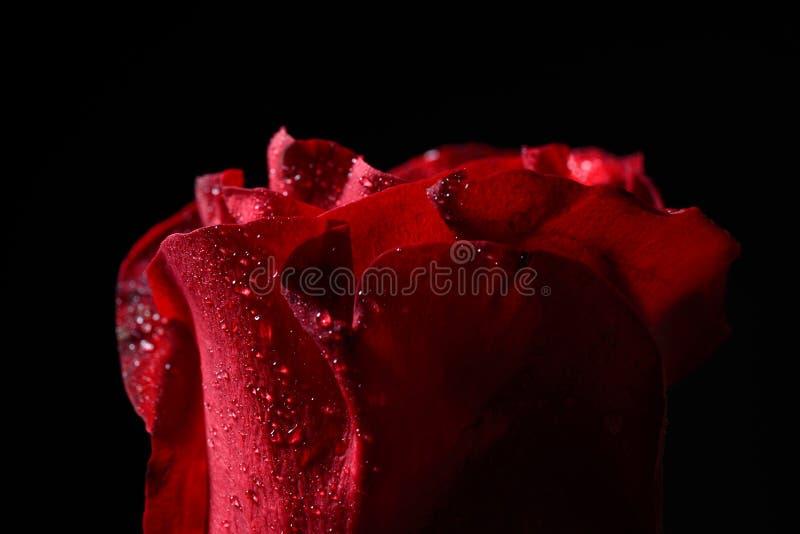 Stäng sig upp av den röda rosen med daggsmå droppar, dramatisk belysning på bla royaltyfria foton