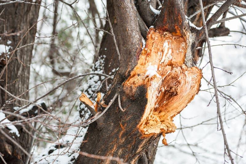 Stäng sig upp av den stora filialen för det brutna och skadade trädet som är sprucken efter hård storm med snö, och stark vind i  royaltyfria foton