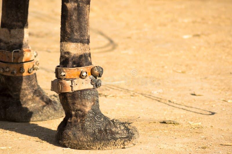 Stäng sig upp av den vadderade foten av en kamel som bär musikaliska klockor som står på ökensand royaltyfri bild