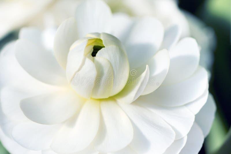 Stäng sig upp av den vita lotusblommablomman royaltyfri bild