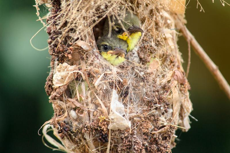 Stäng sig upp av dendrog tillbaka Sunbird familjen; behandla som ett barn fågeln i ett fågelrede som hänger på väntande mat för t royaltyfri foto