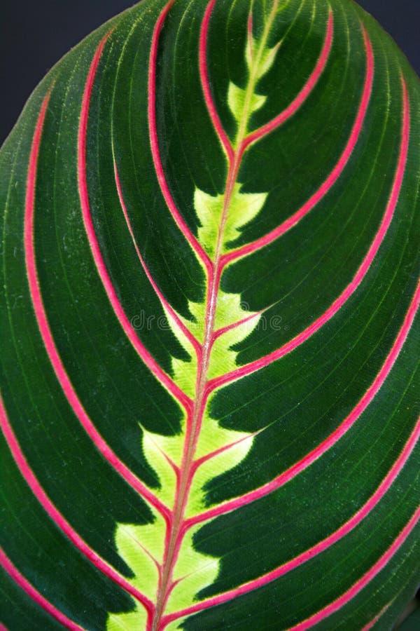 Stäng sig upp av det slående tydliga tropiska bladet 'för den Maranta Leuconeura Fascinator bönväxten ' arkivfoto