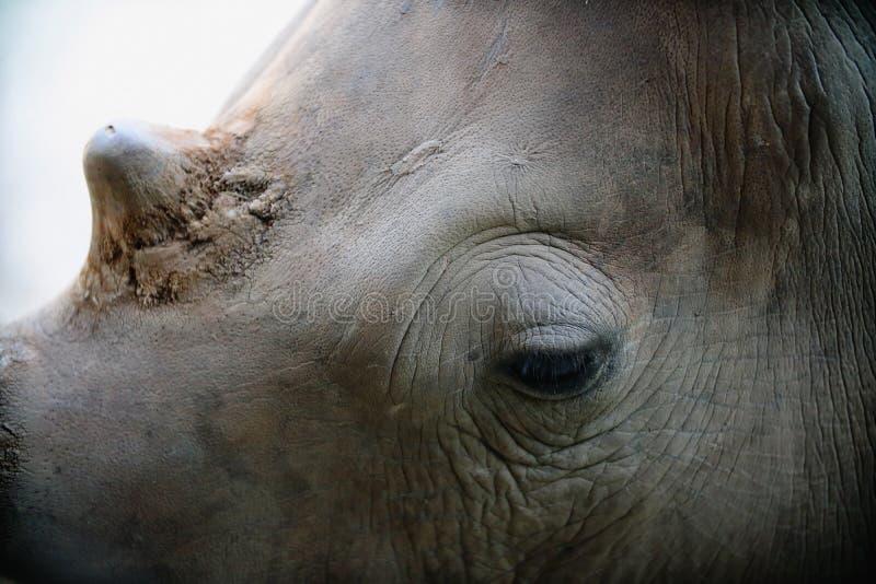 Stäng sig upp av det vita noshörninghuvudet royaltyfri bild