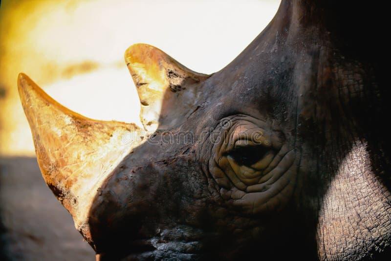 Stäng sig upp av det vita noshörninghuvudet arkivbilder