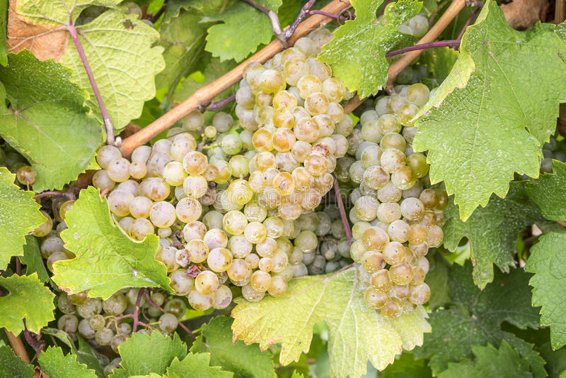 Stäng sig upp av druvor Riesling för vitt vin #2 fotografering för bildbyråer