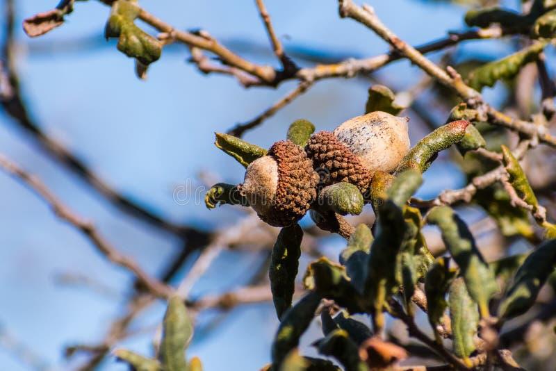 Stäng sig upp av ekollonar för Quercusdurataen (Kalifornien skurar eken, lädereken), söder San Francisco Bay, San Jose, Kaliforni royaltyfria bilder