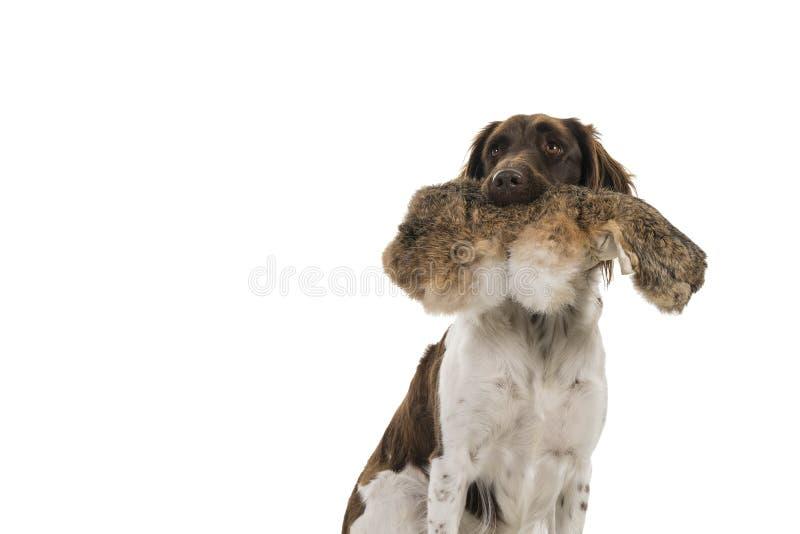 Stäng sig upp av en årig kvinnlig liten hundheidewachtel för munsterlander som två rymmer att jaga attrappen i hennes vita bakgru arkivfoton