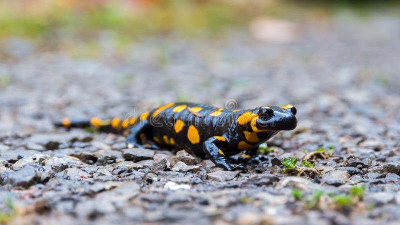 Stäng sig upp av en brandsalamander som kliver på kiselstenar, efter regn Svart amfibie med orange fläckar arkivfoto