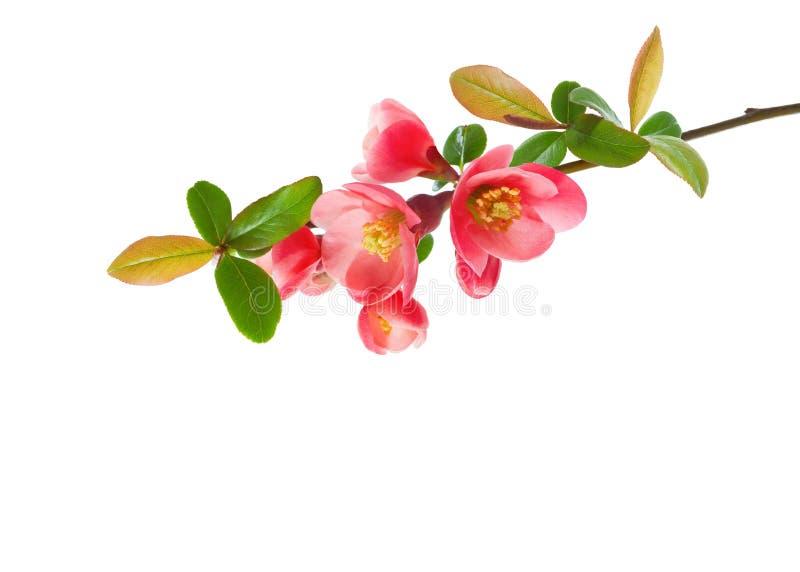 Stäng sig upp av en Chaenomeles för blomningkvitten som isoleras på vit bakgrund royaltyfri fotografi