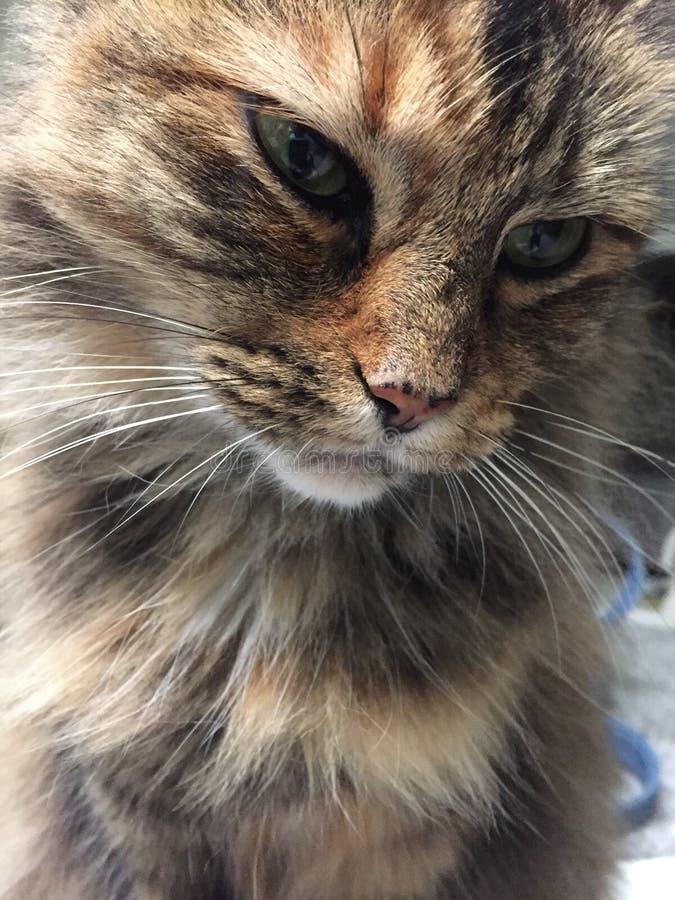 Stäng sig upp av en delMaine Coon katt som ser eftertänksam royaltyfri fotografi