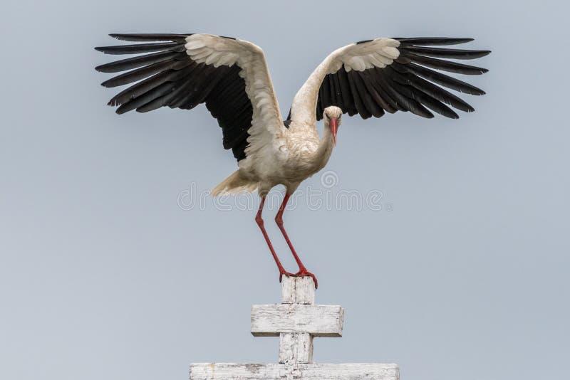 Stäng sig upp av en fågel för vit stork i den lösa Rumänien royaltyfria foton