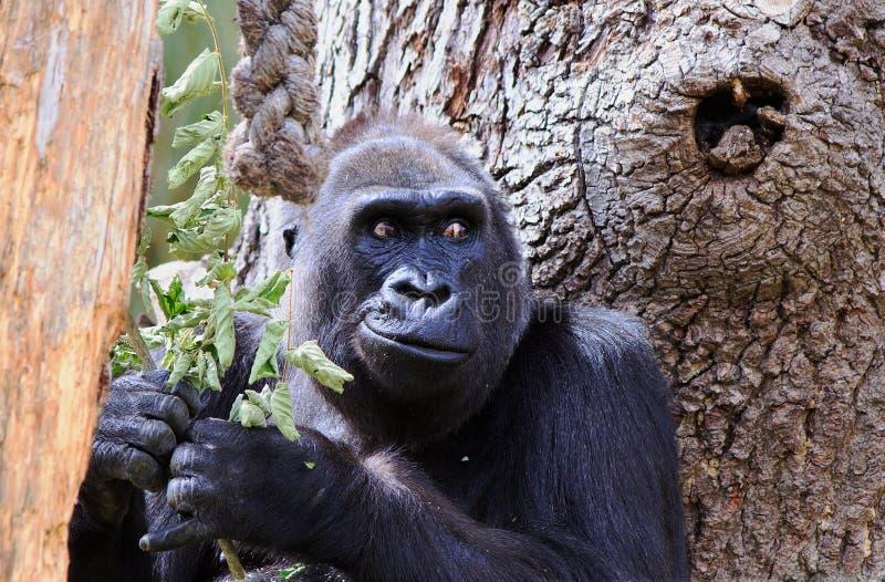 Stäng sig upp av en gorilla för västra lågland med en stor trädbakgrund arkivbild