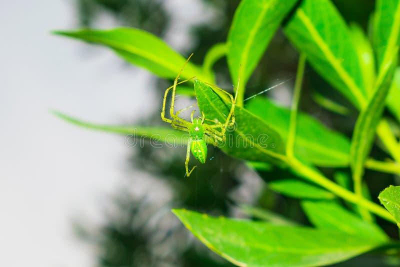 St?ng sig upp av en gr?n spindel som h?nger p? vid ett blad med en enkel tr?d fotografering för bildbyråer
