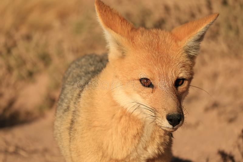 Stäng sig upp av en härlig Andean räv i den Atacama öknen, Altiplano av Chile arkivbild