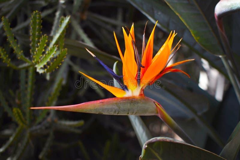 Stäng sig upp av en härlig exotisk orange StrelitziaReginae fågel av oavkortad blom för paradisblomman arkivfoto