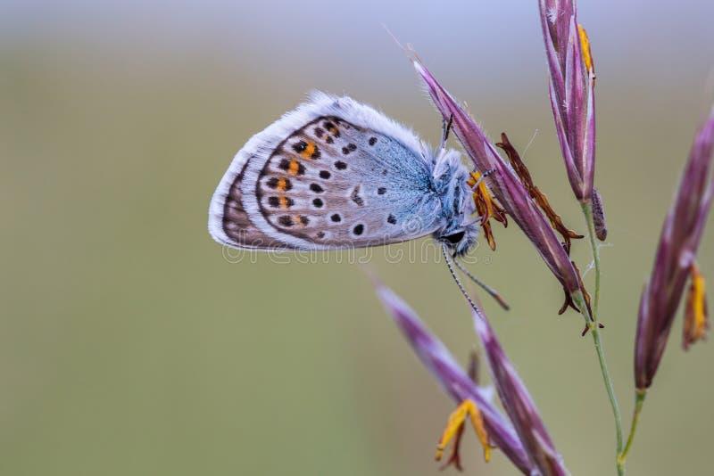 Stäng sig upp av en härlig fjäril & x28; Gemensamma blått, Polyommatus icaru fotografering för bildbyråer