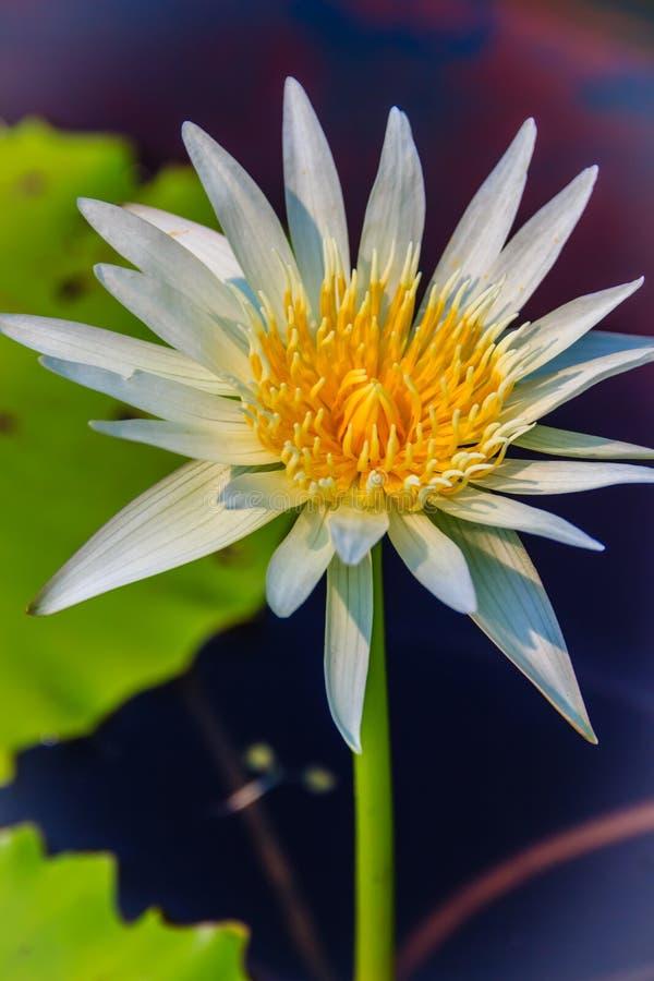Stäng sig upp av en härlig vit näckros med gult pollen royaltyfri fotografi