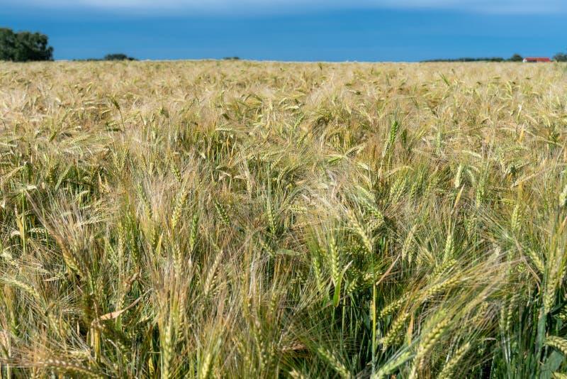 Stäng sig upp av en hugh cornfield med nästan mogna öron royaltyfria foton