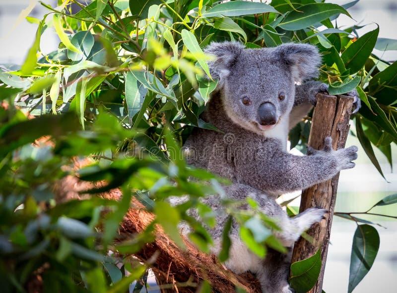 Stäng sig upp av en koala i ett träd arkivfoto