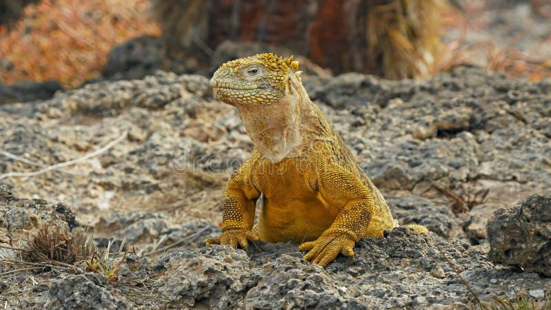 Stäng sig upp av en landleguan som vänder dess huvud på södra plazas i galapagosen royaltyfria foton
