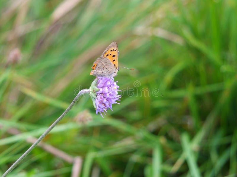 Stäng sig upp av en liten kopparfjäril som vilar på en liten purpurfärgad blomma mot en suddig änggräsplanbakgrund arkivfoton