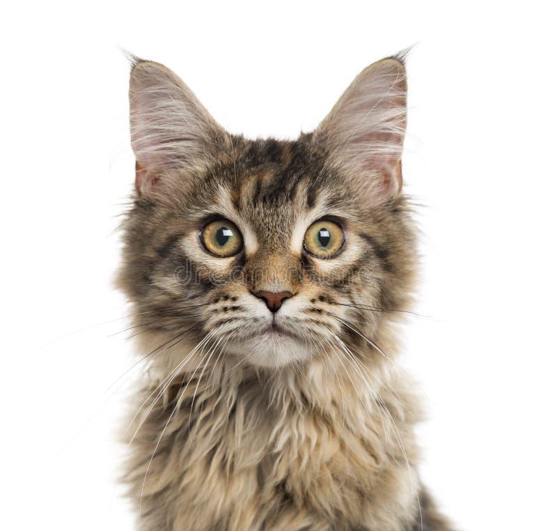 Stäng sig upp av en Maine Coon kattunge som isoleras på vit royaltyfri fotografi