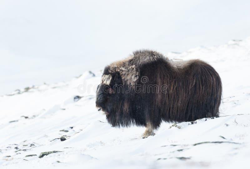 Stäng sig upp av en manlig myskoxe i vinter royaltyfria bilder