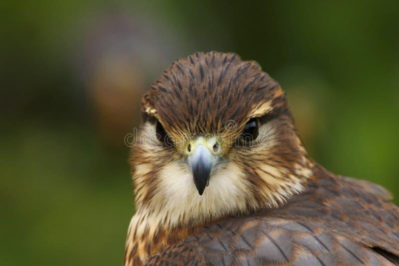 Stäng sig upp av en Merlin, den Falco columbariusen, fågel av rovet royaltyfri fotografi