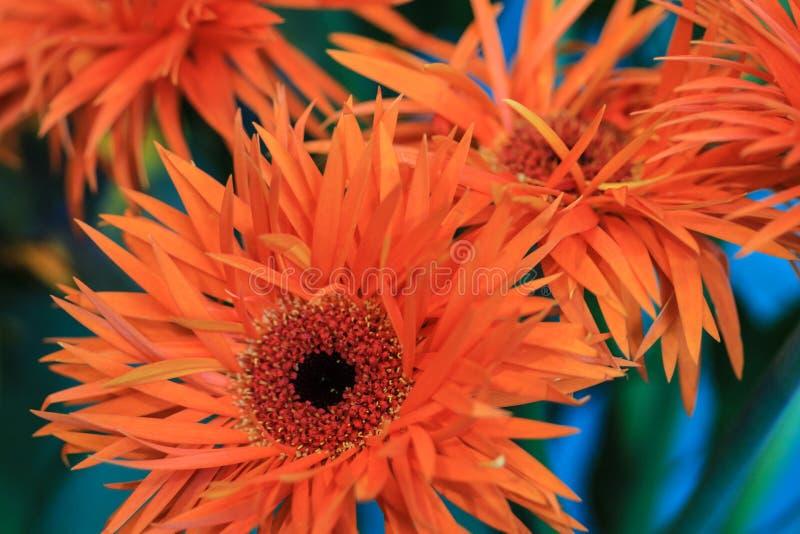 Stäng sig upp av en orange gerbera med röda och gula stamens i royaltyfria foton
