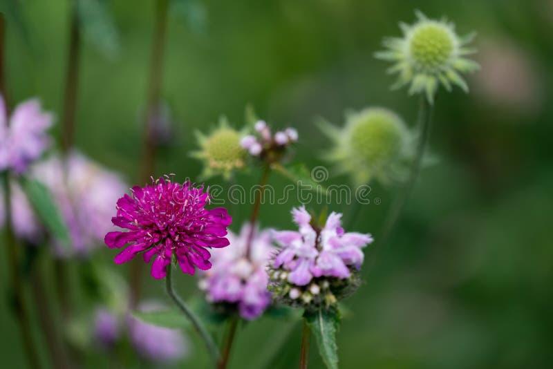 Stäng sig upp av en purpurfärgad scabiosa, en rosa nässlablomma, och gräsplan kärnar ur bollar i bakgrunden royaltyfria bilder