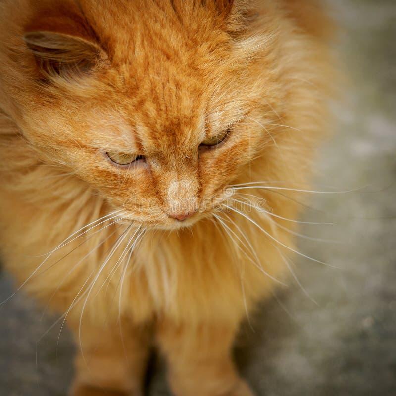 Stäng sig upp av en röd katt med oskarp bakgrund royaltyfria foton