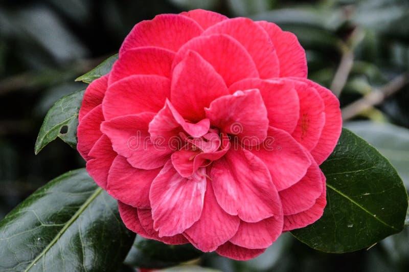 Stäng sig upp av en röd magnolia arkivfoto