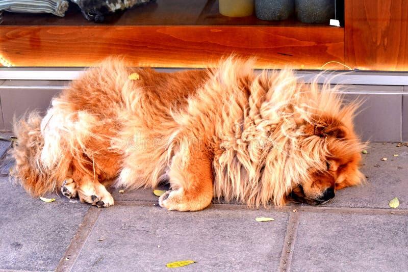 Stäng sig upp av en sova hund på en väg/en röd käkkäk arkivfoton