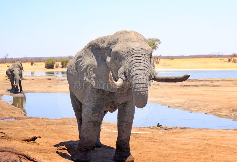 Stäng sig upp av en stor afrikansk elefant framme av en waterhole och en annan elefant i bakgrunden i den Hwange nationalparken royaltyfria bilder