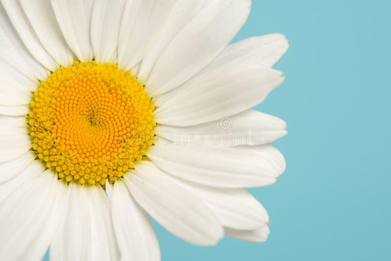 Stäng sig upp av en stor vit tusensköna på en blå bakgrund fotografering för bildbyråer